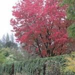 Prunus sargentii 'Rancho' herfst (600x800)
