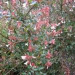 Herfstbloeiende Abelia