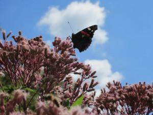 Eupatorium met vlinder
